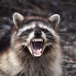 Insane Raccoon Posse